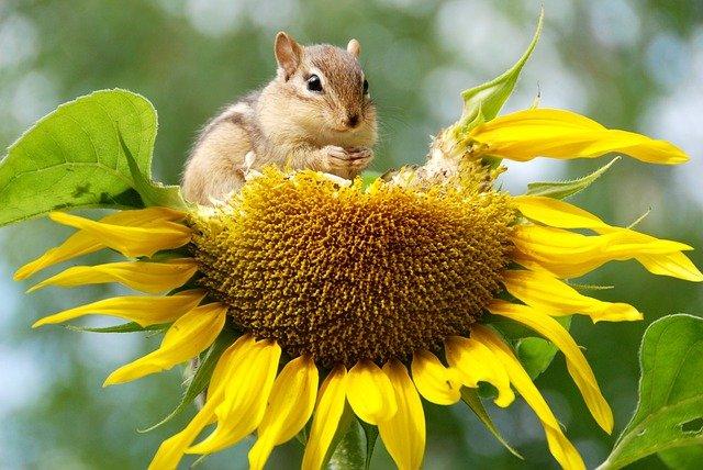 Sunflower being eaten by a chipmunk.