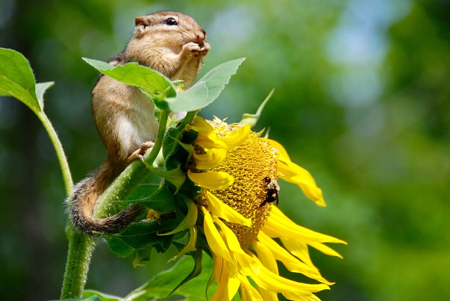 A chipmunk feeding on sunflower petals and seedlings close up shot.