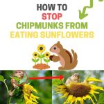 How to Stop Chipmunks from Eating Sunflowers (Naturally)