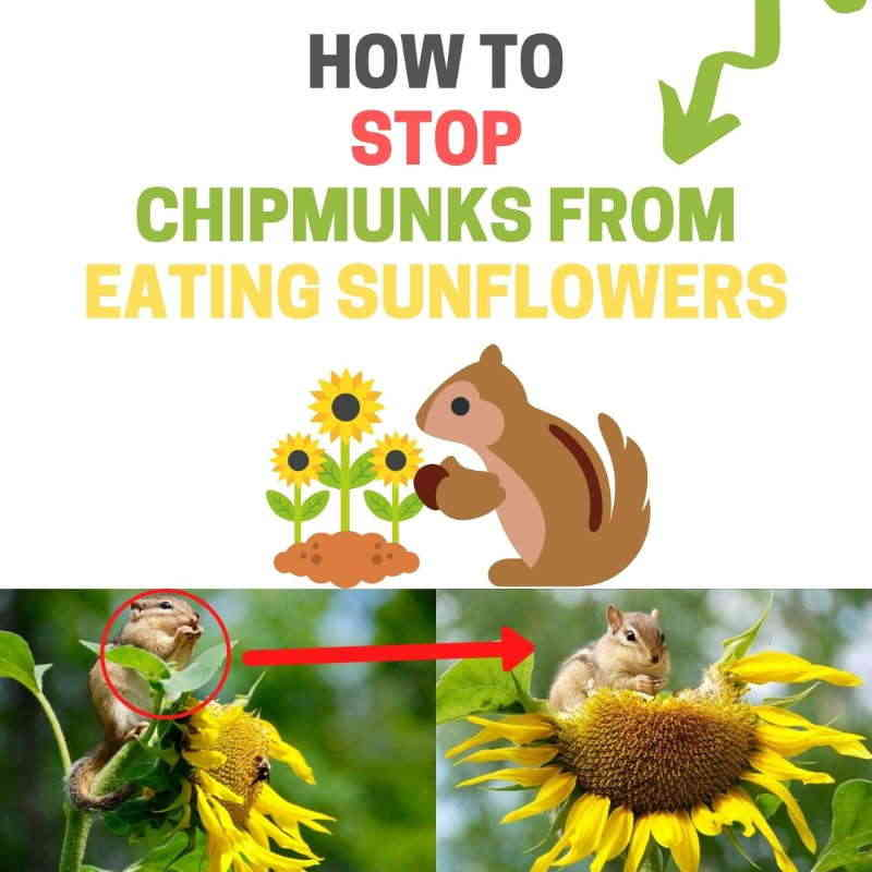 How to stop chipmunks eating sunflowers.