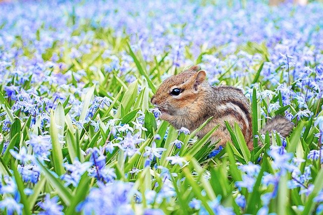 Chipmunk eating flowers - Pest rodent.