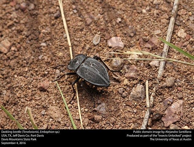 Darkling beetle in the yard.