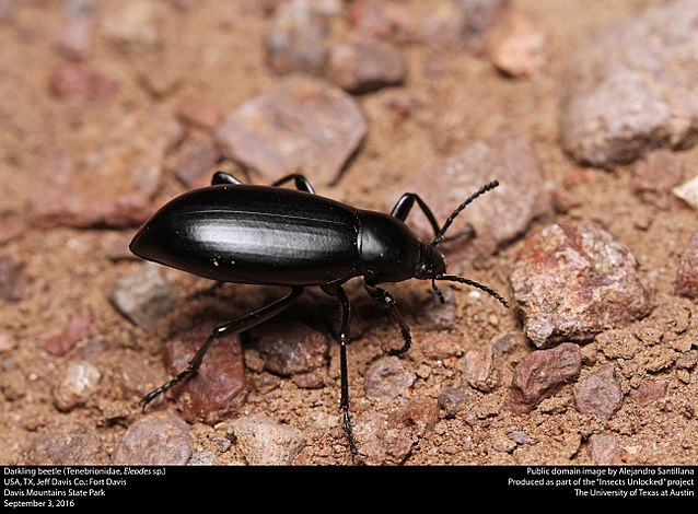 A closeup shot of a darkling beetle in the home.