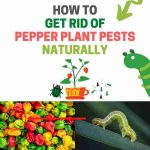 How to Get Rid of Bugs on Pepper Plants (Naturally)