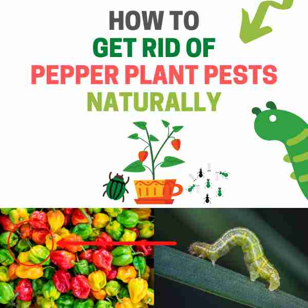 How to get rid of bugs on pepper plants.