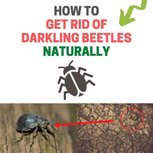 How to get rid of darkling beetles in house.