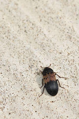 Get rid of larder beetles in the kitchen pantry.