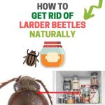 How to Get Rid of Larder Beetles Naturally (Home, Kitchen, and Garden)