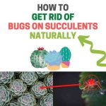 How to Get Rid of Bugs on Succulents Naturally (Guide)