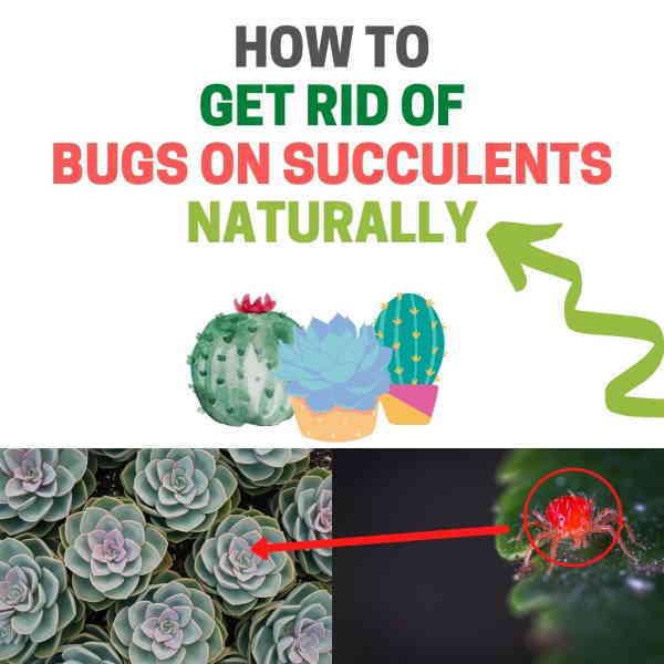 Get rid of succulent bugs.