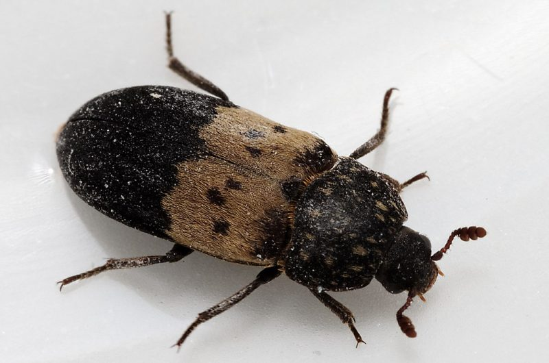 How to get rid of larder beetles in the house.