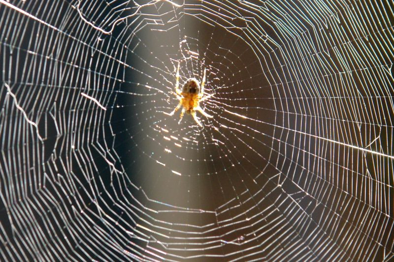 Barn spider sitting in its orb web.
