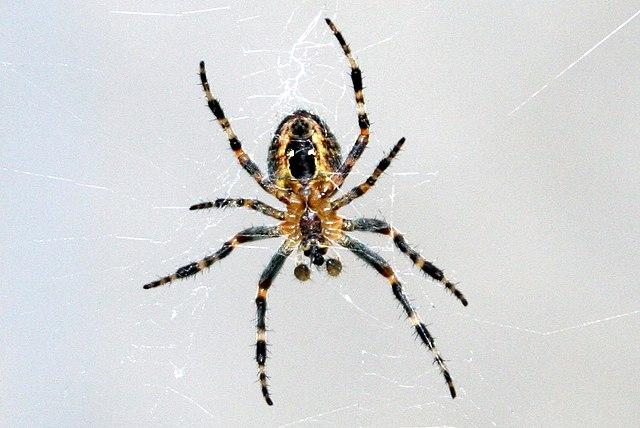 Barn spider on a web.