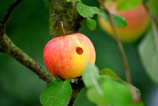 Hornworm damage to apple.