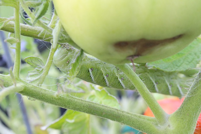 Hornworm eating tomato plant.
