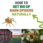How to Get Rid of Barn Spiders (Natural Home Remedies)