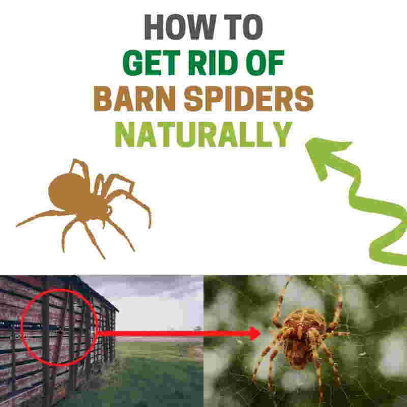 How to get rid of barn spiders naturally DIY home remedies.