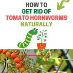 How to Get Rid of Tomato Hornworms Naturally (DIY Remedies)