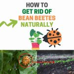 How to Get Rid of Bean Beetles Naturally (Ultimate Guide)