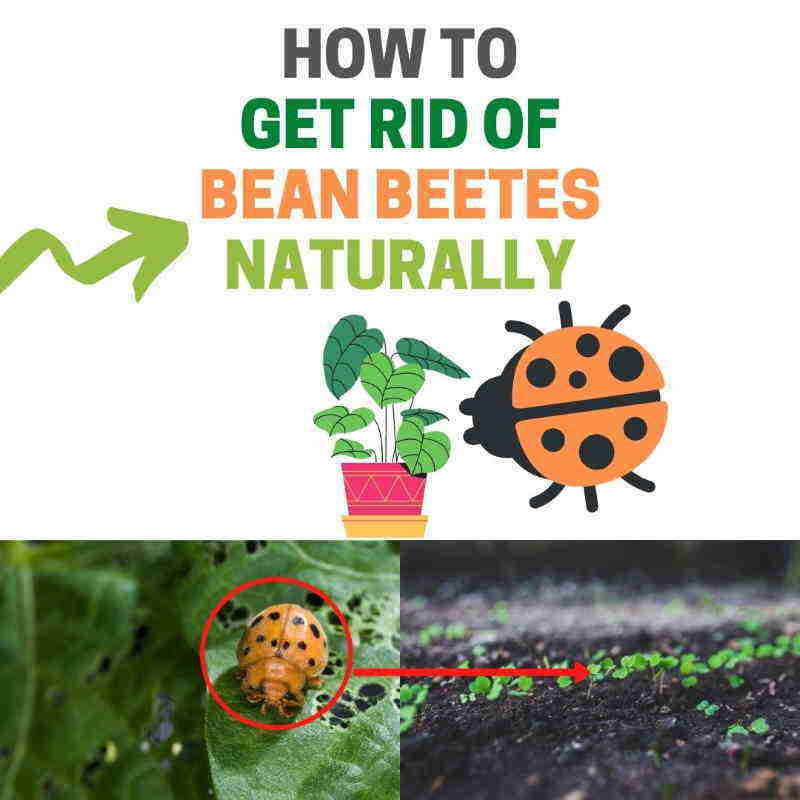 How to get rid of Mexican bean beetles DIY natural pest control.