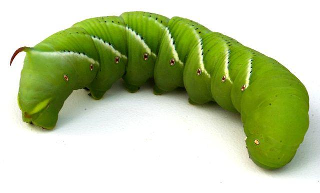 Hornworm macro shot.