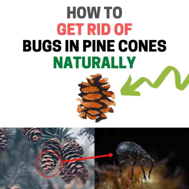 How to clean pine cones.