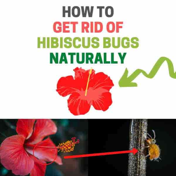How to get rid of bugs on hibiscus plant..