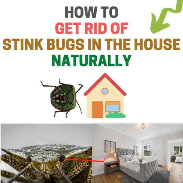 Get rid of stink bugs in house.