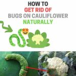 How to Get Rid of Bugs on Cauliflower Plants (Naturally)
