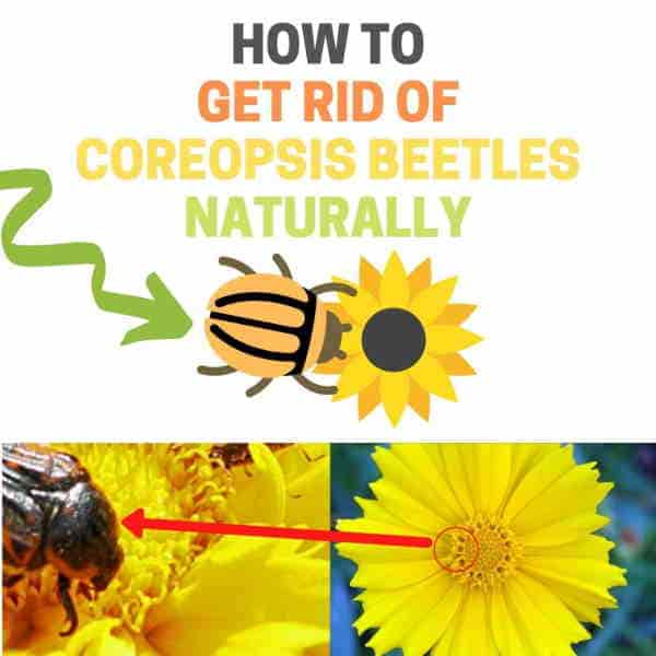 How to get rid of coreopsis beetles.