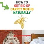How to Get Rid of Carpet Moths (Naturally)