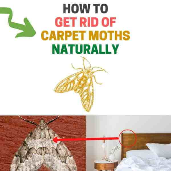 How to get rid of carpet moths naturally