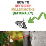 How to Get Rid of Miller Moths Naturally (Ultimate Guide)