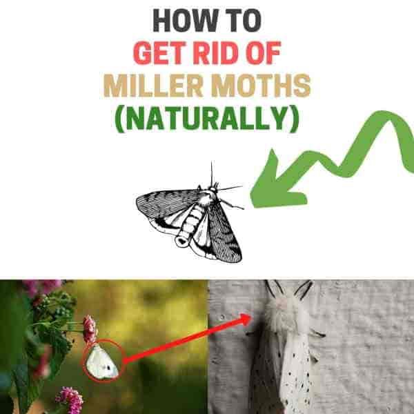 Get rid of army cutworms DIY guide.