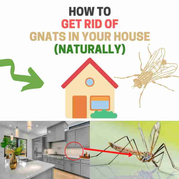 How to get rid of gnats inside house.