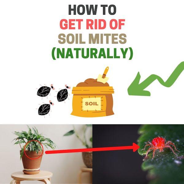 Get rid of soil mites.