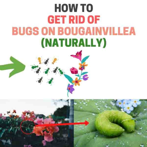 How to get rid of bugs on bougainvillea.